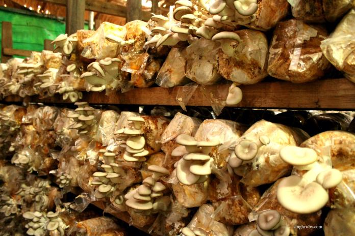 A close look of the Mushrooms sprawling in the Mushroom Garden