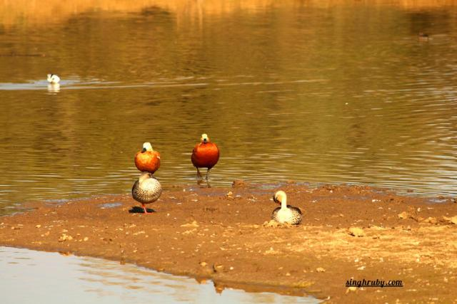 Couple Birds at Sariska Tiger Reserve