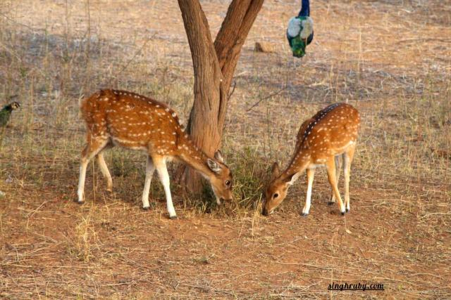 Deer at Sariska Tiger Reserve