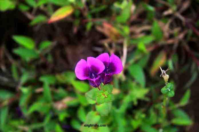 purple-flower-at-kaas-plateau