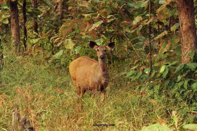 sambhar-at-panna-national-park