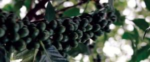 haiti green coffee cherries