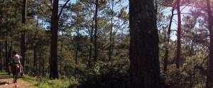 haiti coffee mountain pine forest