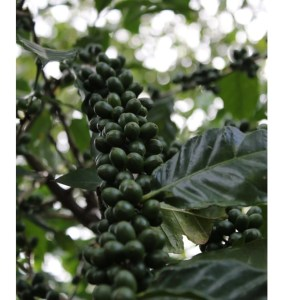 reforest Haiti mountains coffee