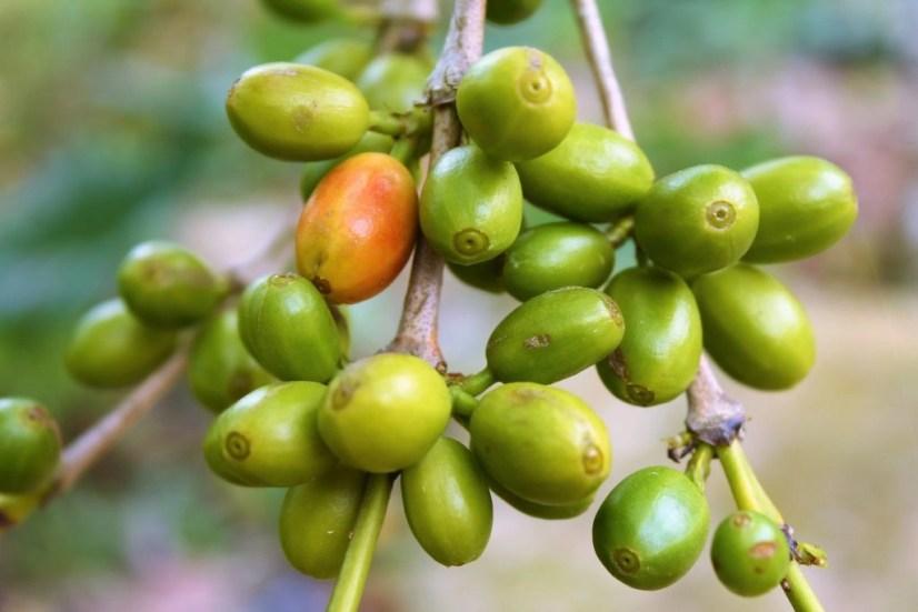 haiti coffee greencherries
