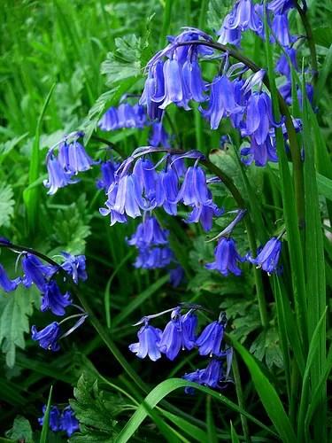 The Blue Bells of Scotland