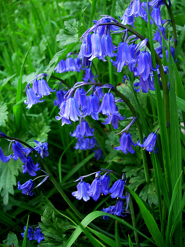 The Blue Bells of Scotland