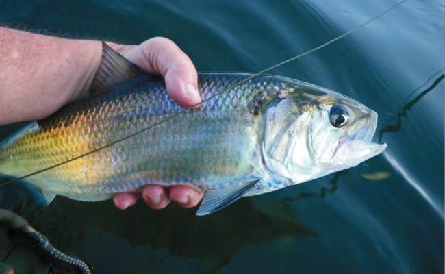 American River Shad More Fish Than Blisters Singlebarbed