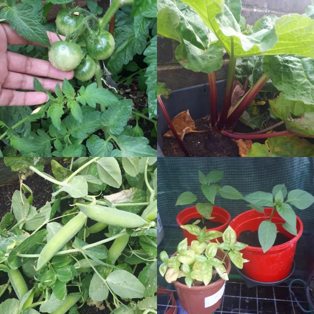 My various veg plants