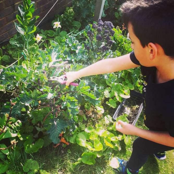 Boy harvesting broccoli