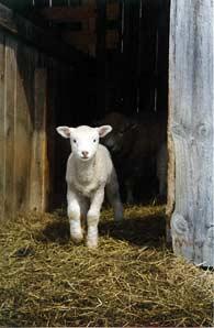 Lamb in Doorway/Mother Behind