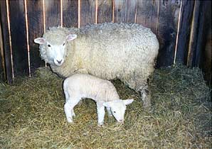 Mother With Her Lamb/slats of light
