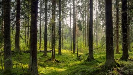 Dark forest background Karelia forest trees Singularity Hub