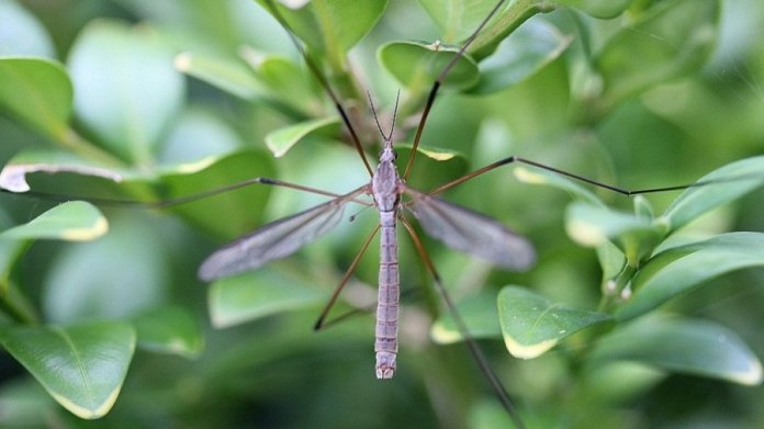 genetic engineering mosquitoes