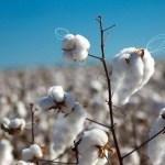 エジプトの綿花