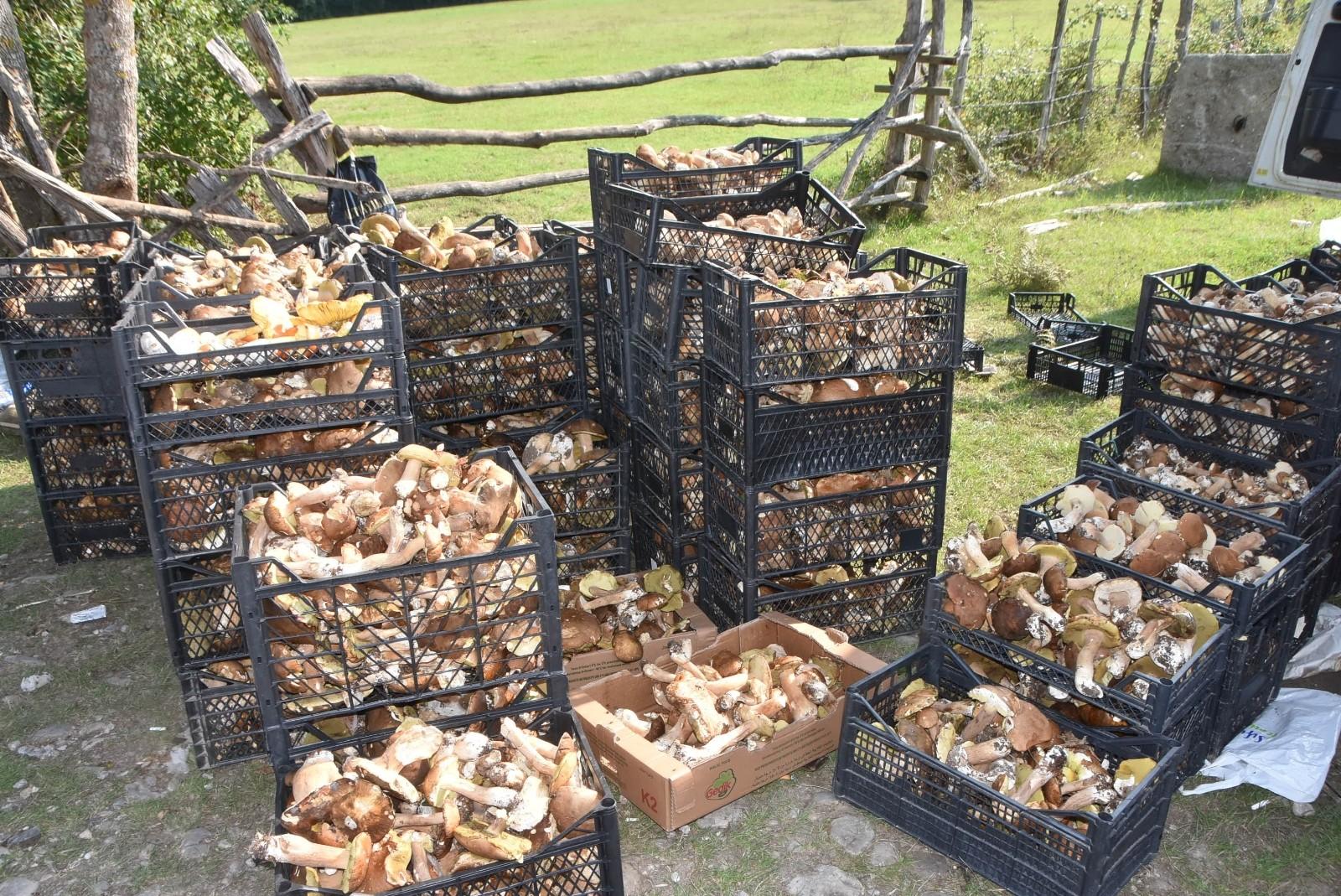 Sinop ormanlarından fışkıran fesleğen ve yumurta mantarı köylülere ek gelir kapısı oldu
