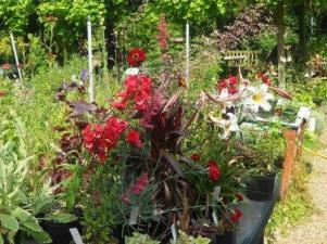 Red Aubergine flowers and Foliage for vibrant planting
