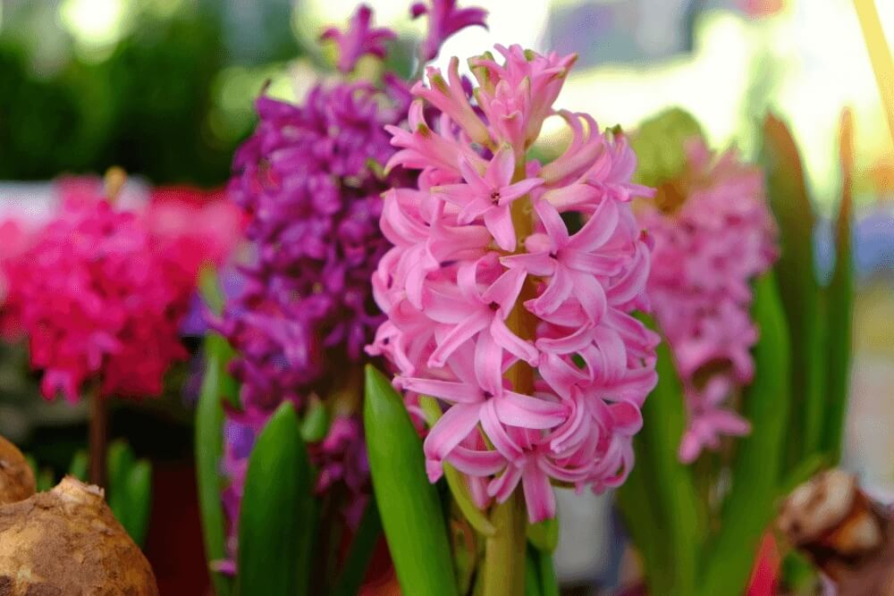 Good morning images of Hyacinth flowers