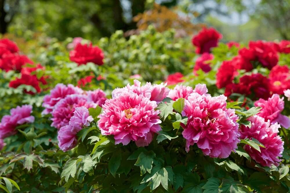 Good morning images of Peony flowers