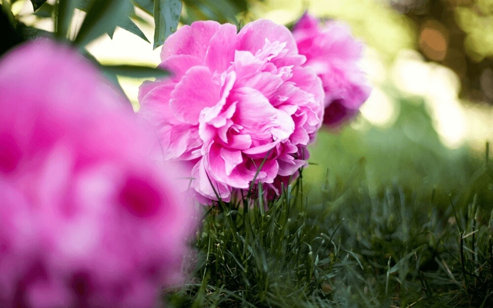 Good morning images of  peonies in full bloom