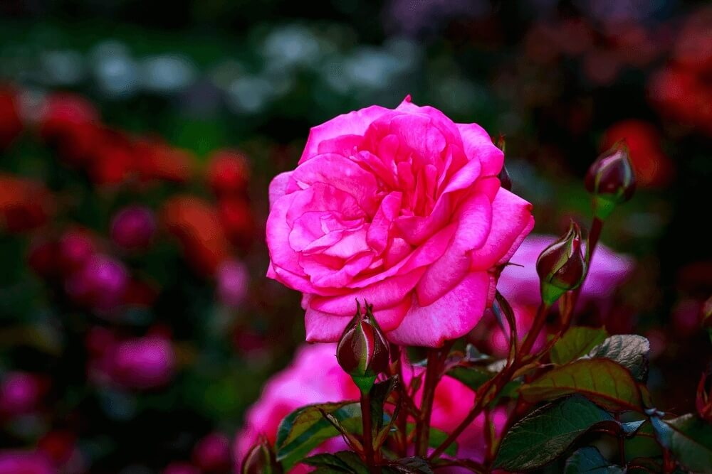 Good morning images of rose blooms flowers