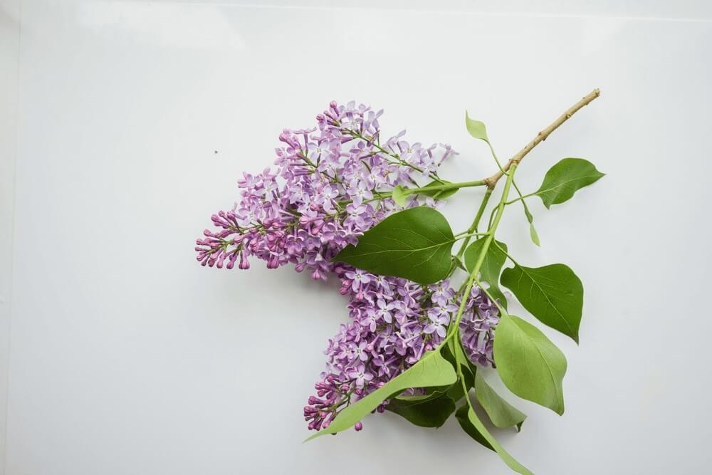 Good morning images with Branch of lilac on a white Design Flowers
