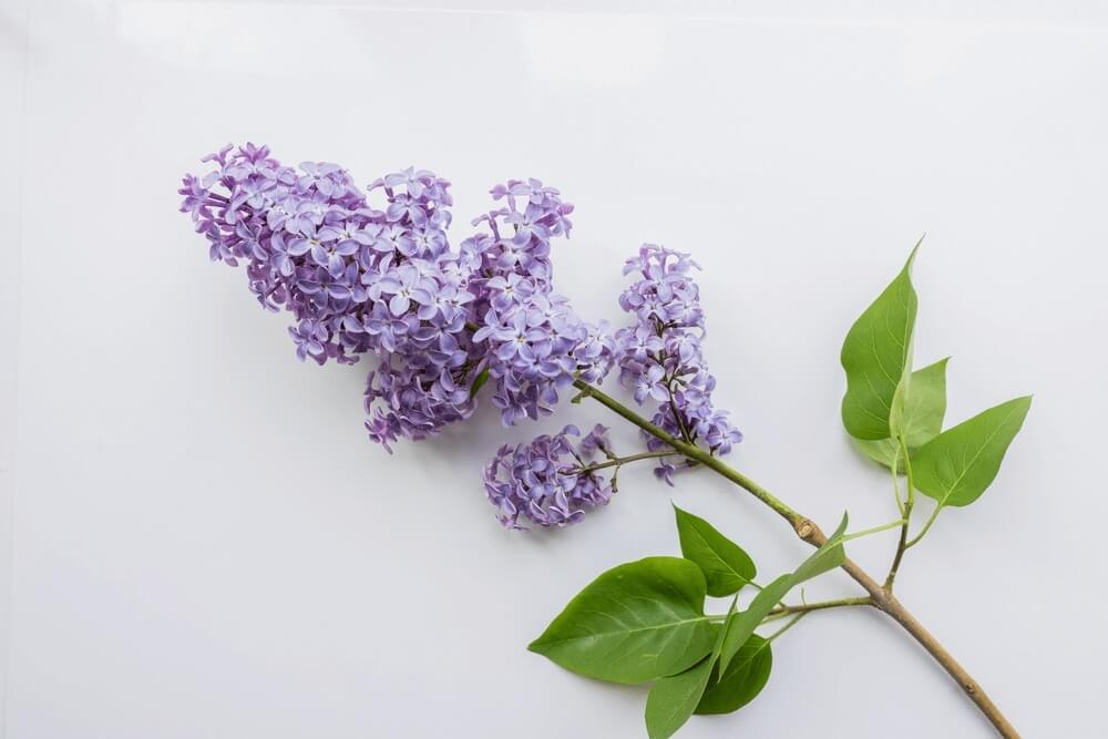 Good morning images with Branch of lilac on a white flowers