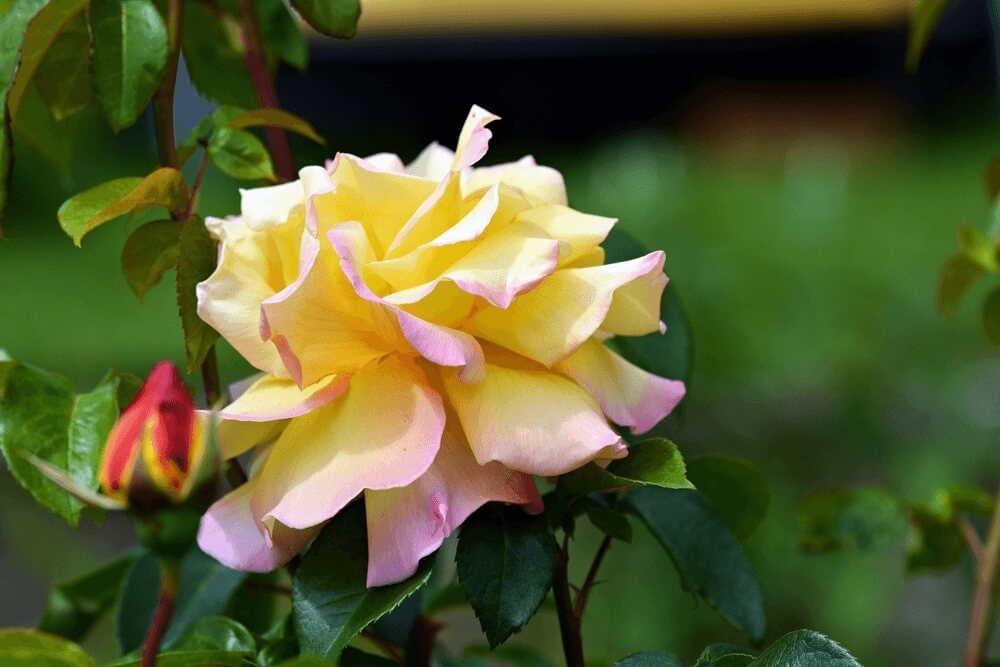 Good morning images with Garden roses Flower