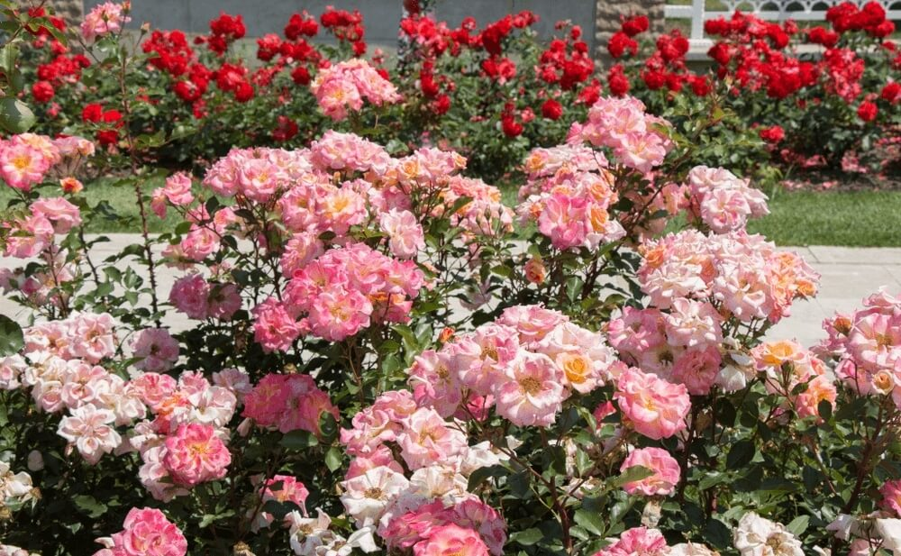 Good morning images with beautiful bunch of roses