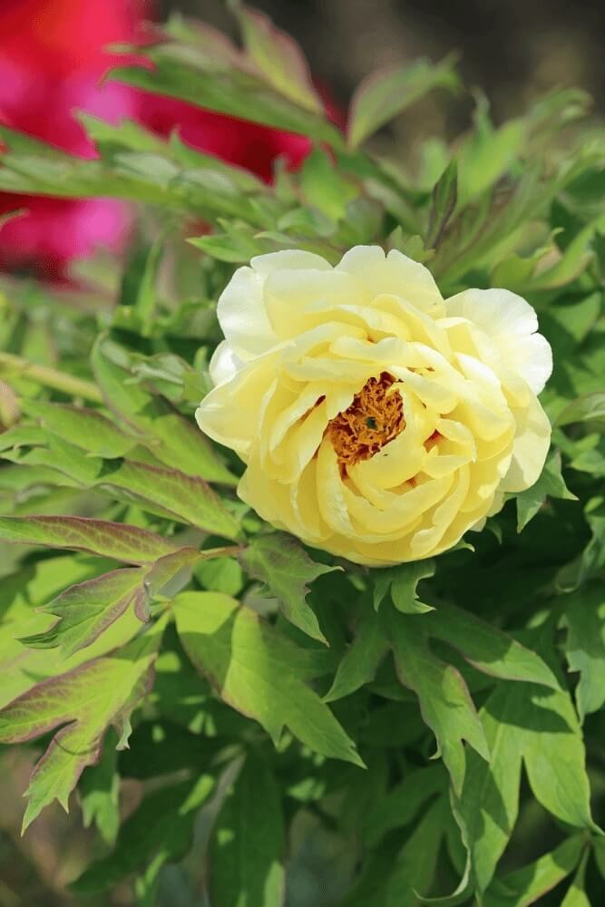 Good morning images with flower of peony