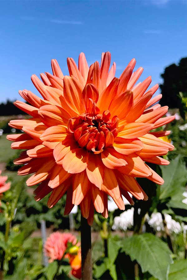 PDX day trip idea: Swan Island Dahlias in Canby Oregon - one of the most beautiful flower fields in the PNW! These are gorgeous orange dahlias.