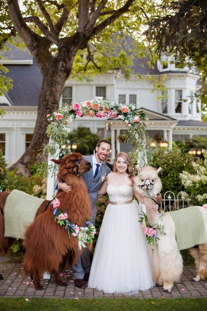 Wedding photo with portland llamas at the Victorian Belle