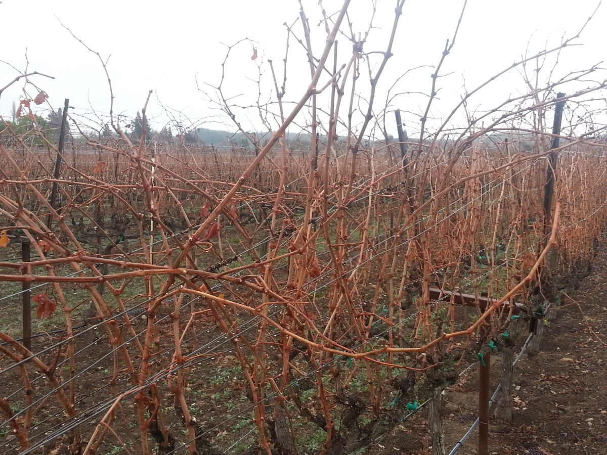 Pruning Grapes in The Vineyard: Just The Basics