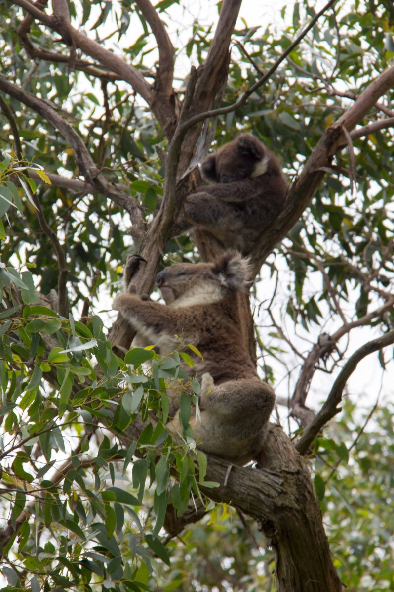 Koalas Great Ocean Road Melbourne Australia