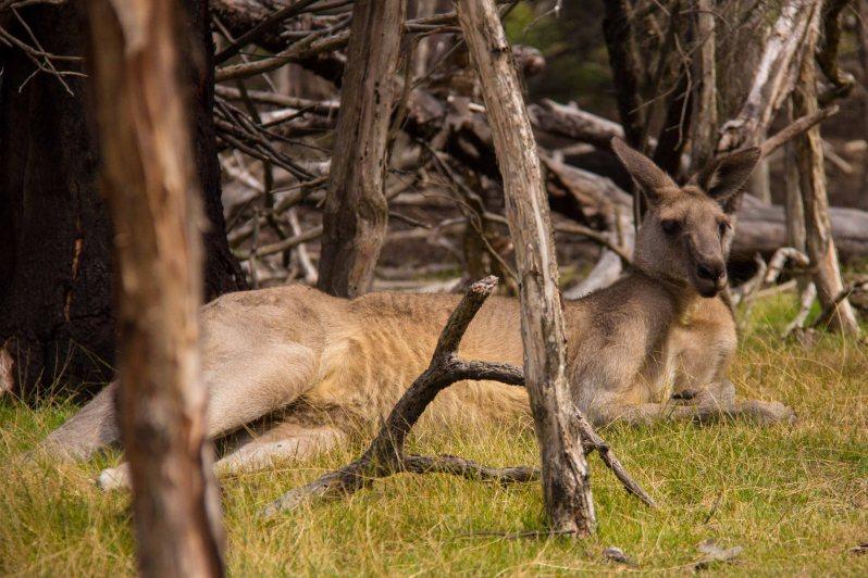 moonlit-sanctuary-kangaroo