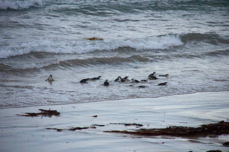 Phillip Island Penguin Parade 2.jpg