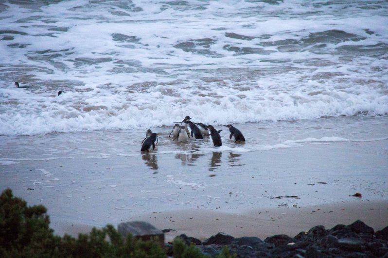 Phillip Island Penguin Parade 4.jpg
