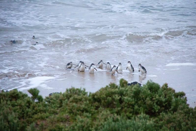 phillip-island-penguin-parade-5
