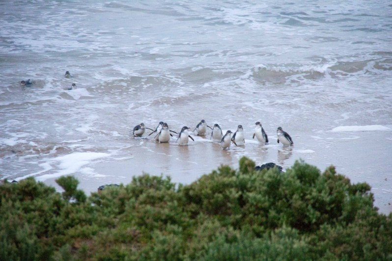 phillip-island-penguin-parade-5