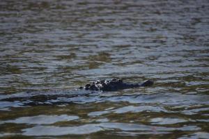 cocodrilo crocodile tamarindo