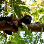 Howler monkey in the trees of Tamarindo, Costa Rica