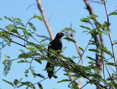 naivasha glossy-starling