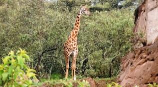 hell's gate giraffe