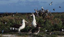 Albatross family (maybe)