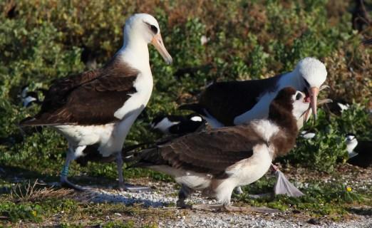 Laysan albatross chick getting fed.