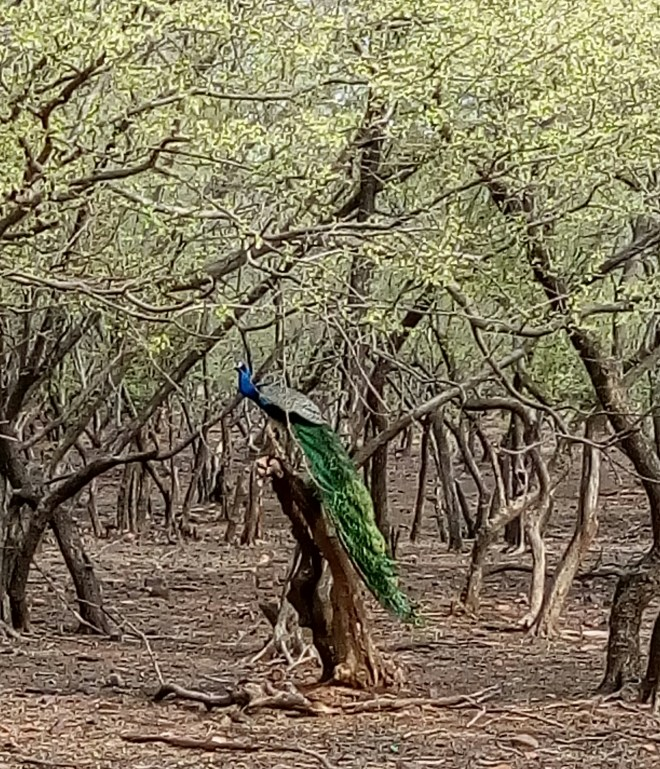 Tree-Peacock-Sirimiri