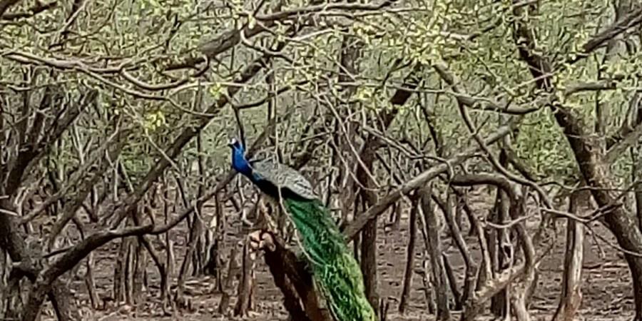 Tree-Peacock-Sirimiri