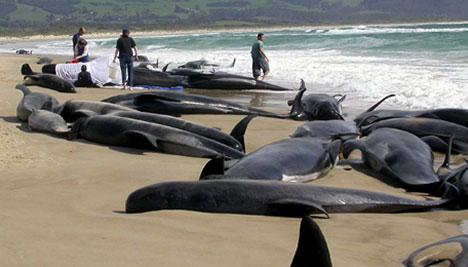 beached-whales-australia-photo3463