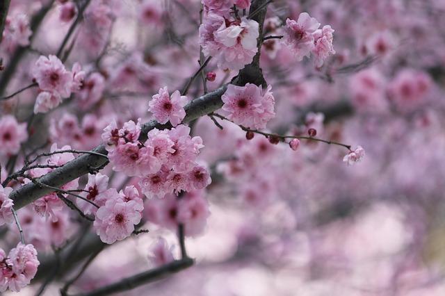 桜と気温アイディー