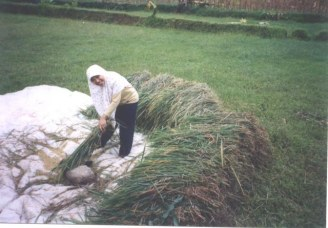 Panen Padi di Sawah